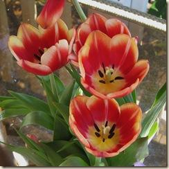WK 2 Tulips