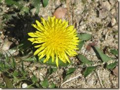 WK 2 Dandelion