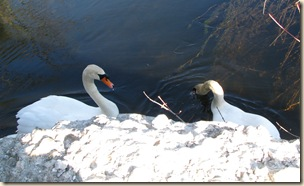 WK 2 Swans 2