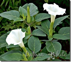 Datura - White