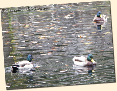Duck Pond 2