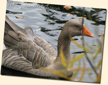 Grey Goose 2