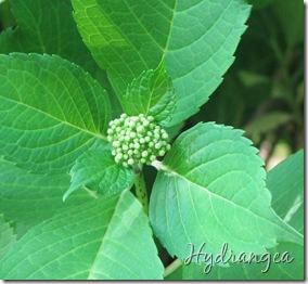 June 7 Hydrangea