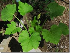 June 7 Zucchini