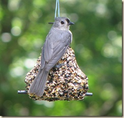 July 7 Titmouse