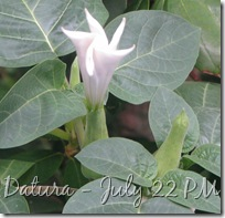 July 22 Datura PM