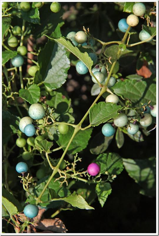 berries 016