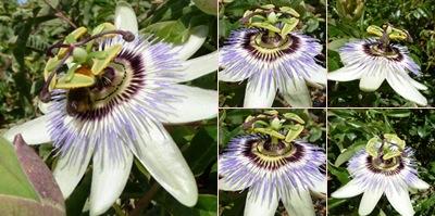 Ver flor estranha 1