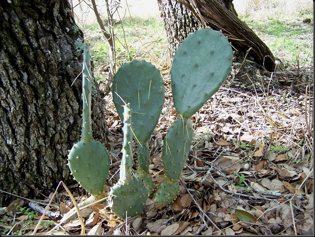 prickly pear 2-12-10