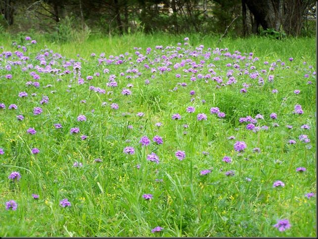 Elli's meadow...verbena 4-5-10