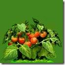 _a_tomato1