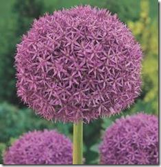 Allium_Globemaster