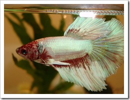 Betta-Fish-Picture-15