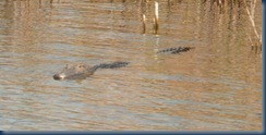 alligators in the canal