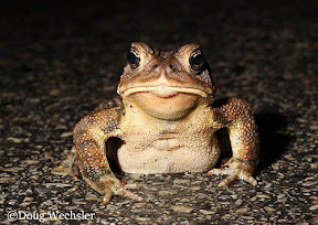 American Toad photo by Doug Wechsler