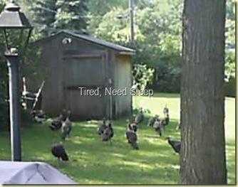 wild turkeys in backyard sept 15, 2009