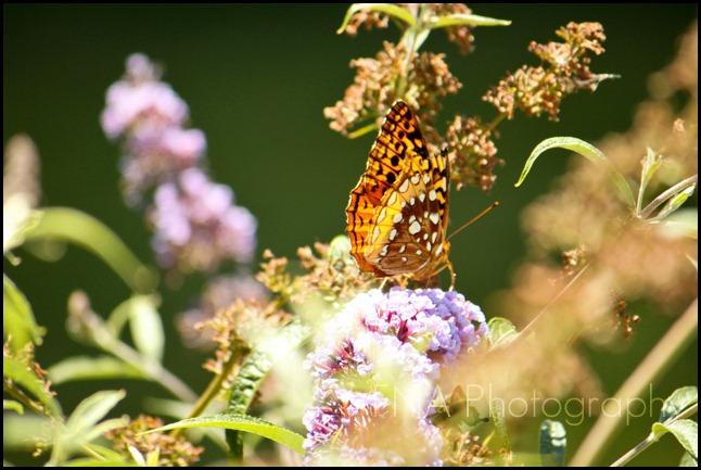 butterfly-12