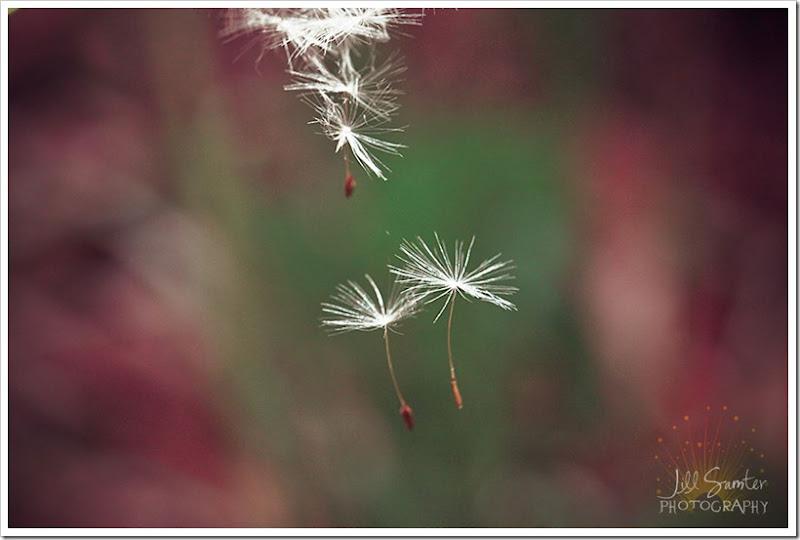 dandelions-3476