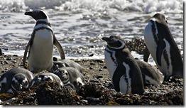 pinguinos-magallanes