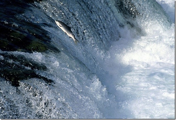 Swimming__Salmon_Alaska