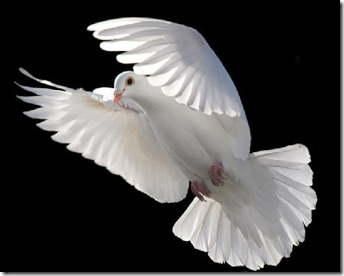White_Dove_Flying