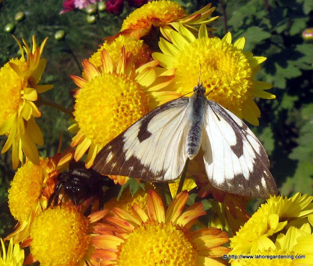 Belenois aurota pioneer white butterfly on chrysanthemum flower