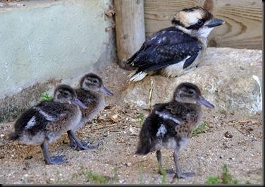 Kookie & 3 ducklings 30 Aug 10 (resized)