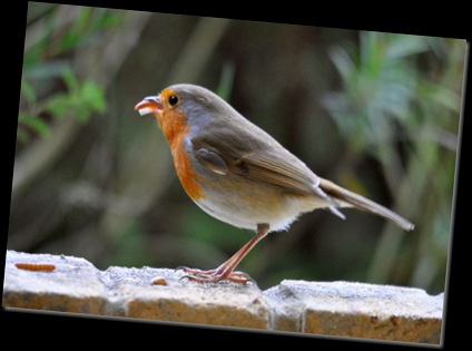 Robin with mealworm in beak (resized)