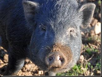 Sow at Fakenhams Nov 2010