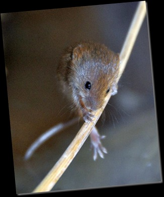 Baby Harvest Mouse on stalk (resized & cropped)