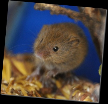 Baby Harvest Mouse 24 Nov 2010