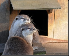 2 Otters (D Nordell 2010)