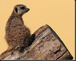 Meerkat (D Nordell 2010)