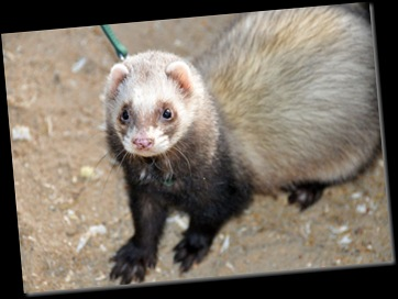 Ferret going for a walk Jan 11