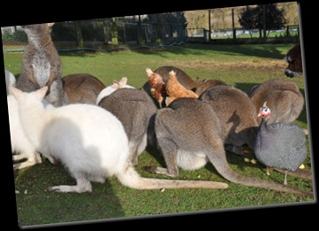 Wallabies and all feeding - shows female with bulging pouch Feb 11