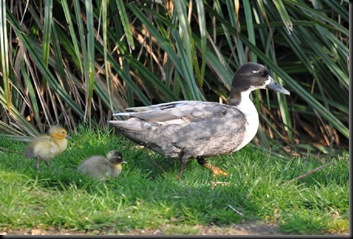 First ducklings of 2011