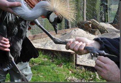 Closer look at female Crowned Crane