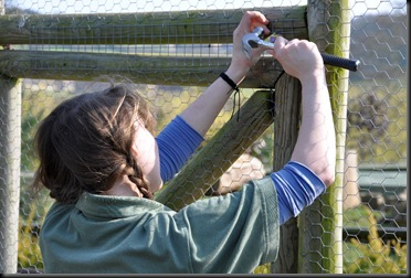 Fern fitting new mesh wire onto Siberian's new outdoor aviary March 11