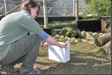 Fern releasing Siberian Thrushes into outdoor aviary March 2011