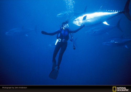 A diver reaches out to touch the flank of a passing bluefin tuna - other tuna are in the background