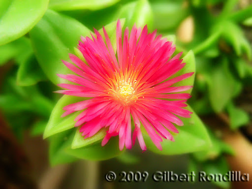 Macro shot of a tiny pink flower, Philippines