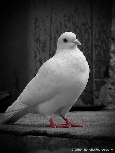 White dove with color isolation, Caleruega, Philippines
