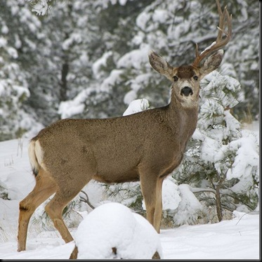600px-Mule_deer_missing_antler