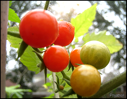 winter cherry tomatoes1