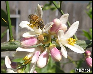 lemon blossoms and bee