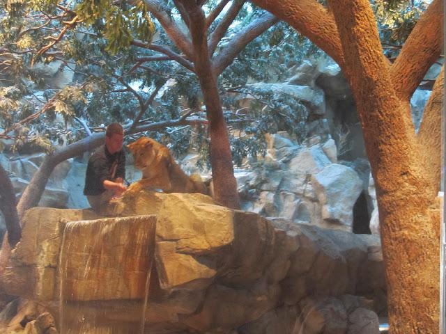 Львы в отеле MGM Grand