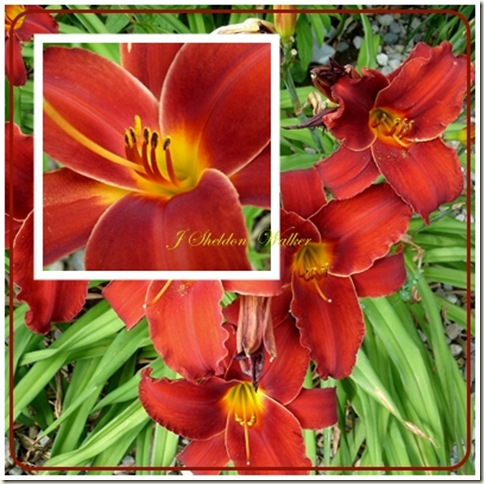red lilies 2
