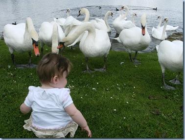 swans 010