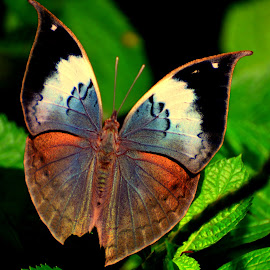 Blue Oaklife butterfly by Manoj Kulkarni - Animals Insects & Spiders ( butterfly, nature )