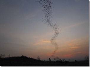 Khao Yai: Never ending bat queue